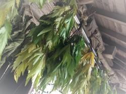 広島の薬草の当帰の葉の自然乾燥